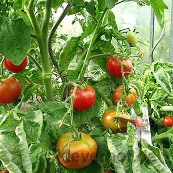 Rote Prachtvolle Tomatenvielfalt