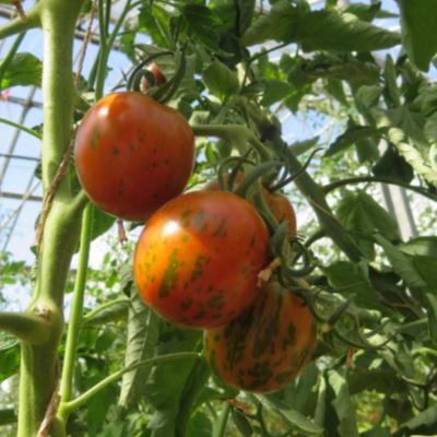 Orange Tomatensorte mit grünen  Streifen