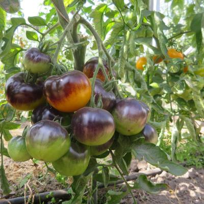 Orange/Blaue Geschmackvolle Bio Tomate