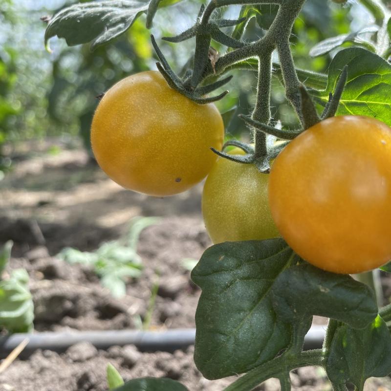 Kleine Gelbe Tomatenfrucht