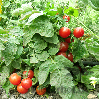 Pelzige Tomatenvielfalt