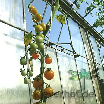 Gelber cherry Tomatenstrauch