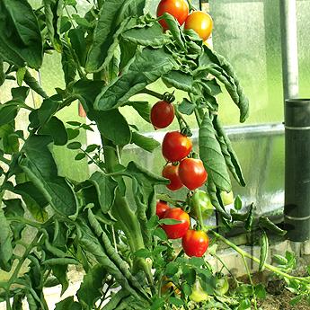 Roter Cherry Tomatenstrauch mit Geschmack