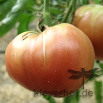Braune Tomatenvielfalt am einer Rispe