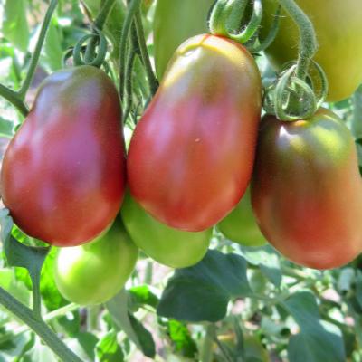 Rot/Schwarze Birnen  Demeter Tomate