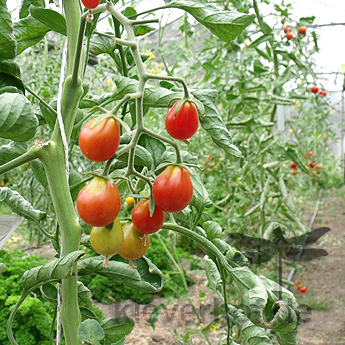Roter Cherry Tomatenstrauch