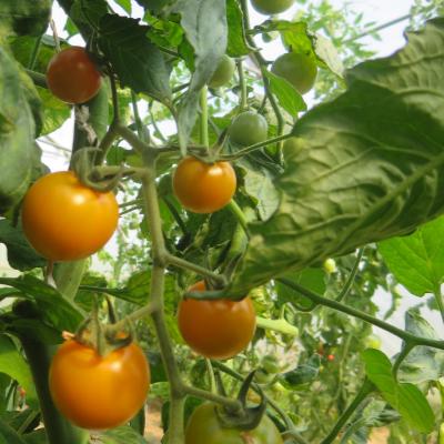 Gelber cherry Tomatenstracuh