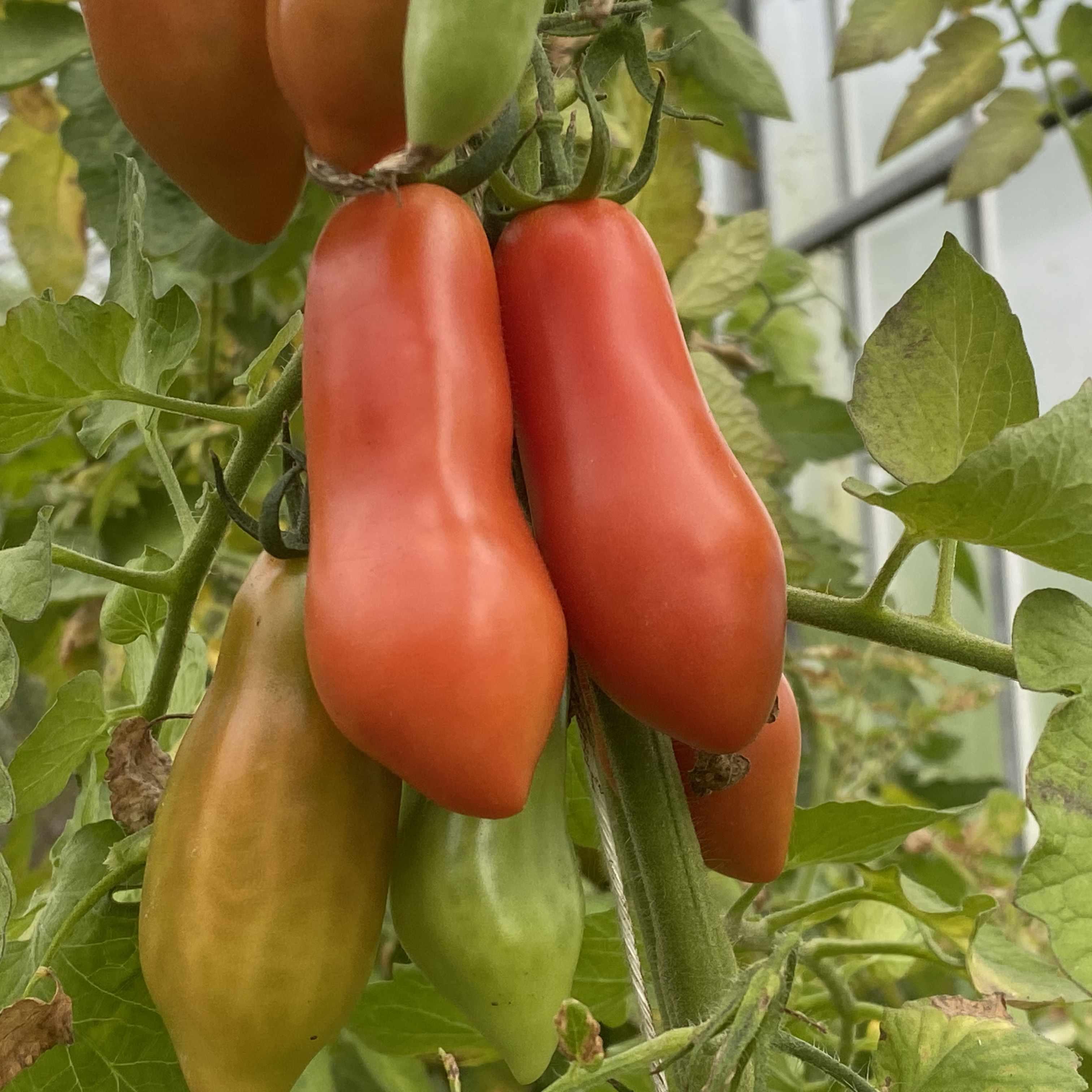 Tomatensaatgut San Marzano klein