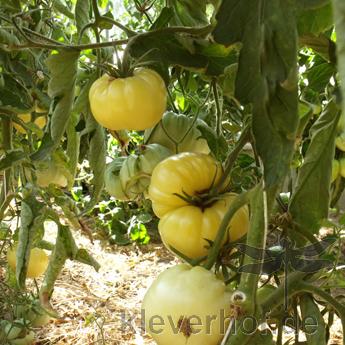 Weiße und Gelbe Tomatenfrucht mit echtem Geschmack