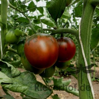 Braune Tomatenvielfalt mit Grünem kopf