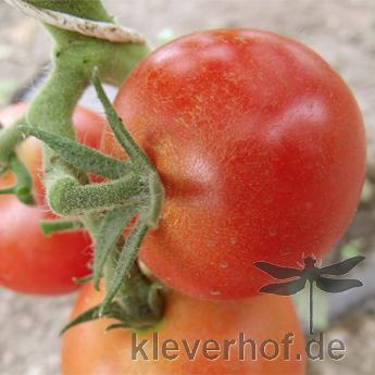 Schöne rote Demter Tomate