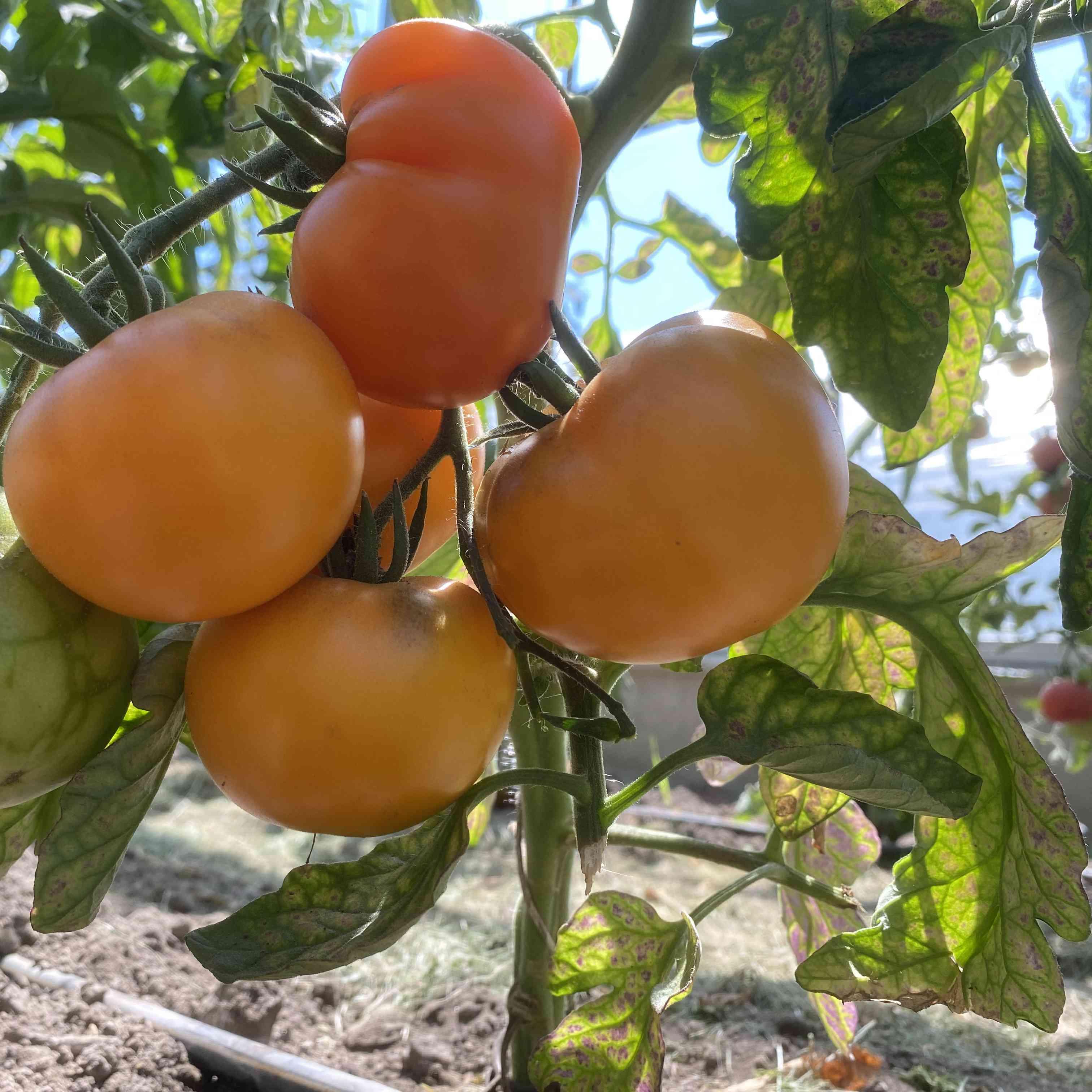 Tomatensaatgut Orange Fleshed Purple Smudge