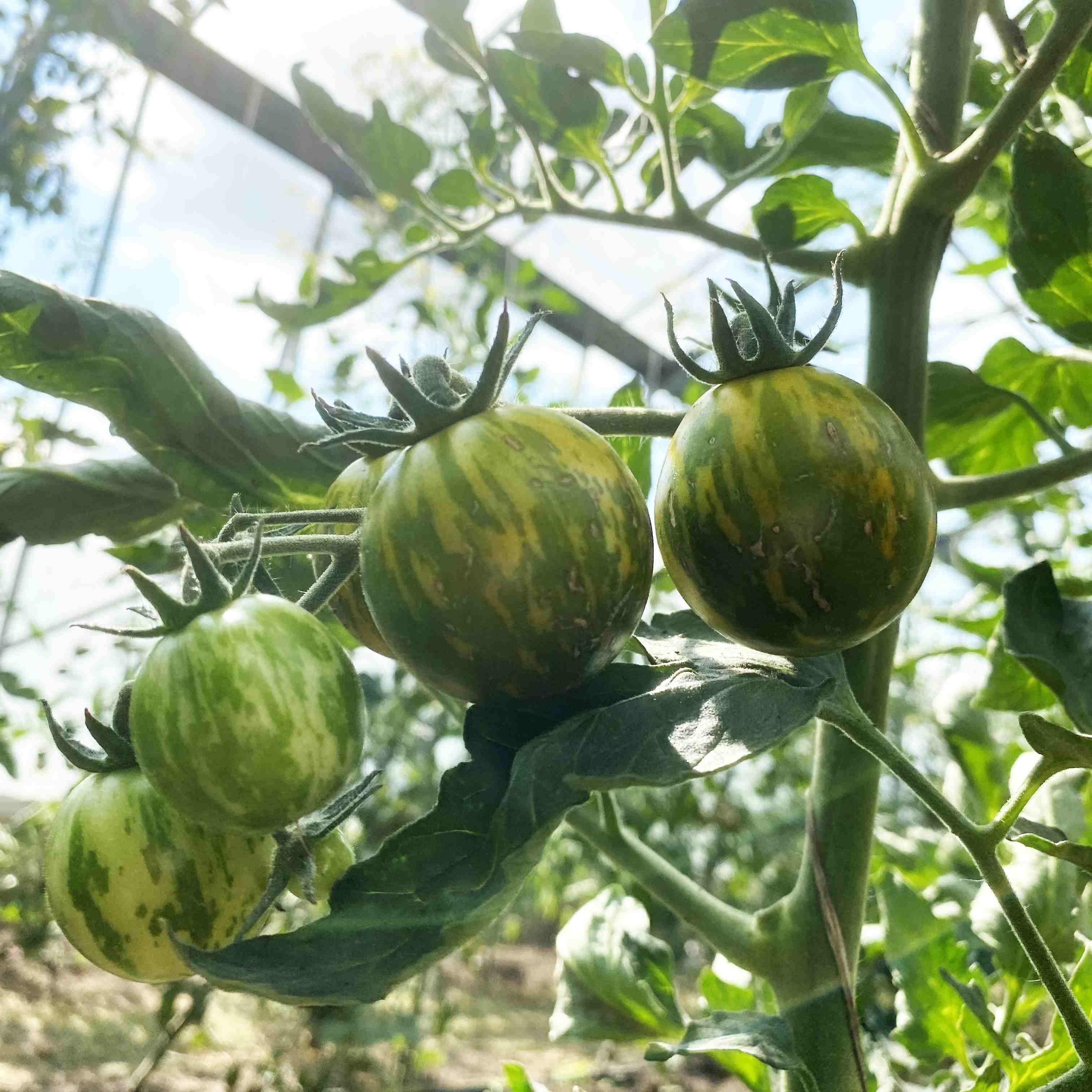 Tomatensaatgut Green Zebra Cherry