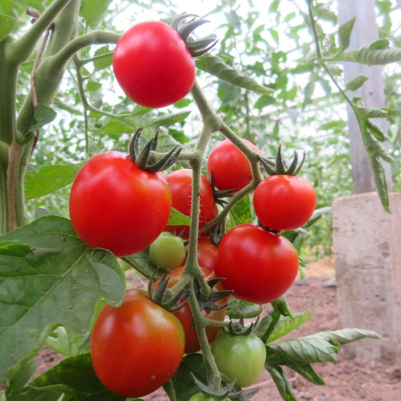 Rote Cherry Bio Tomatenfrüchte