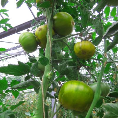 Grün gestreifte Tomatensorte mit schönem Geschmack