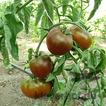 Braune Demeter Tomate