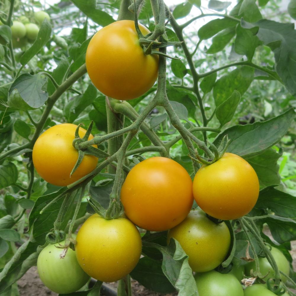 Prallgelbe Tomatenpflanze