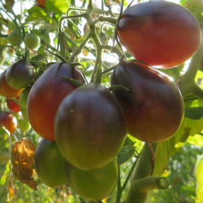 Blau/Rote Tomatenfrucht