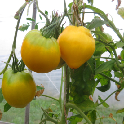 Gelbe Tomatenfrucht mit Grünem Kopf
