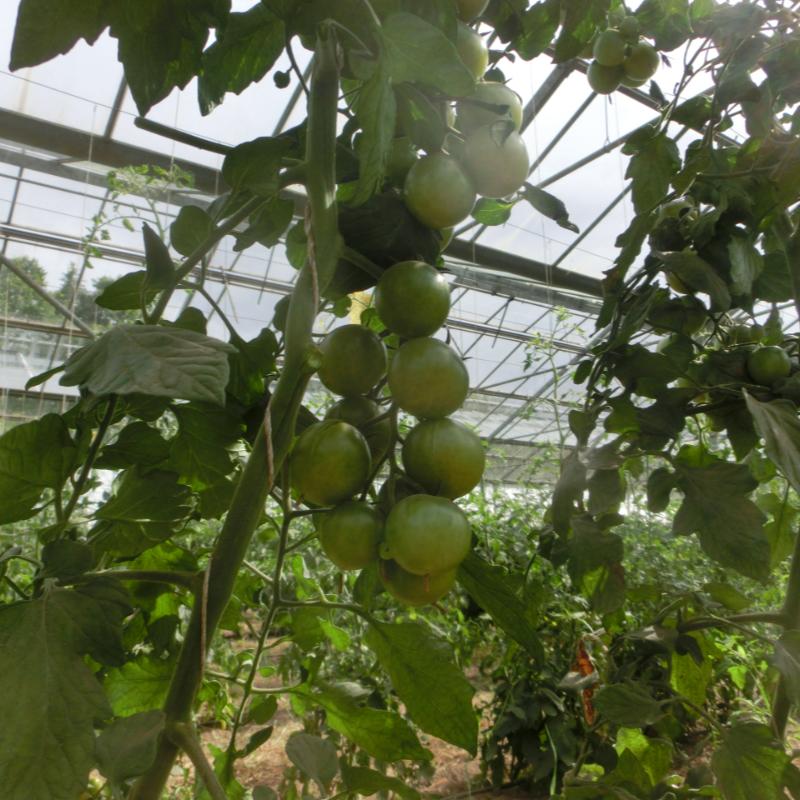 Gürne Cherry Tomatenvielfalt mit Geschmack