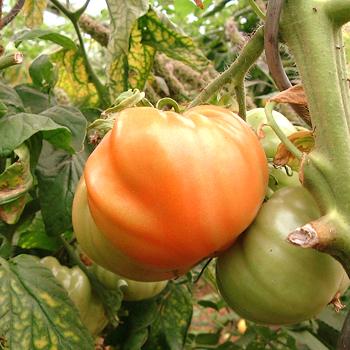 Große Orange Tomatenvielfalt mit echtem Geschmack