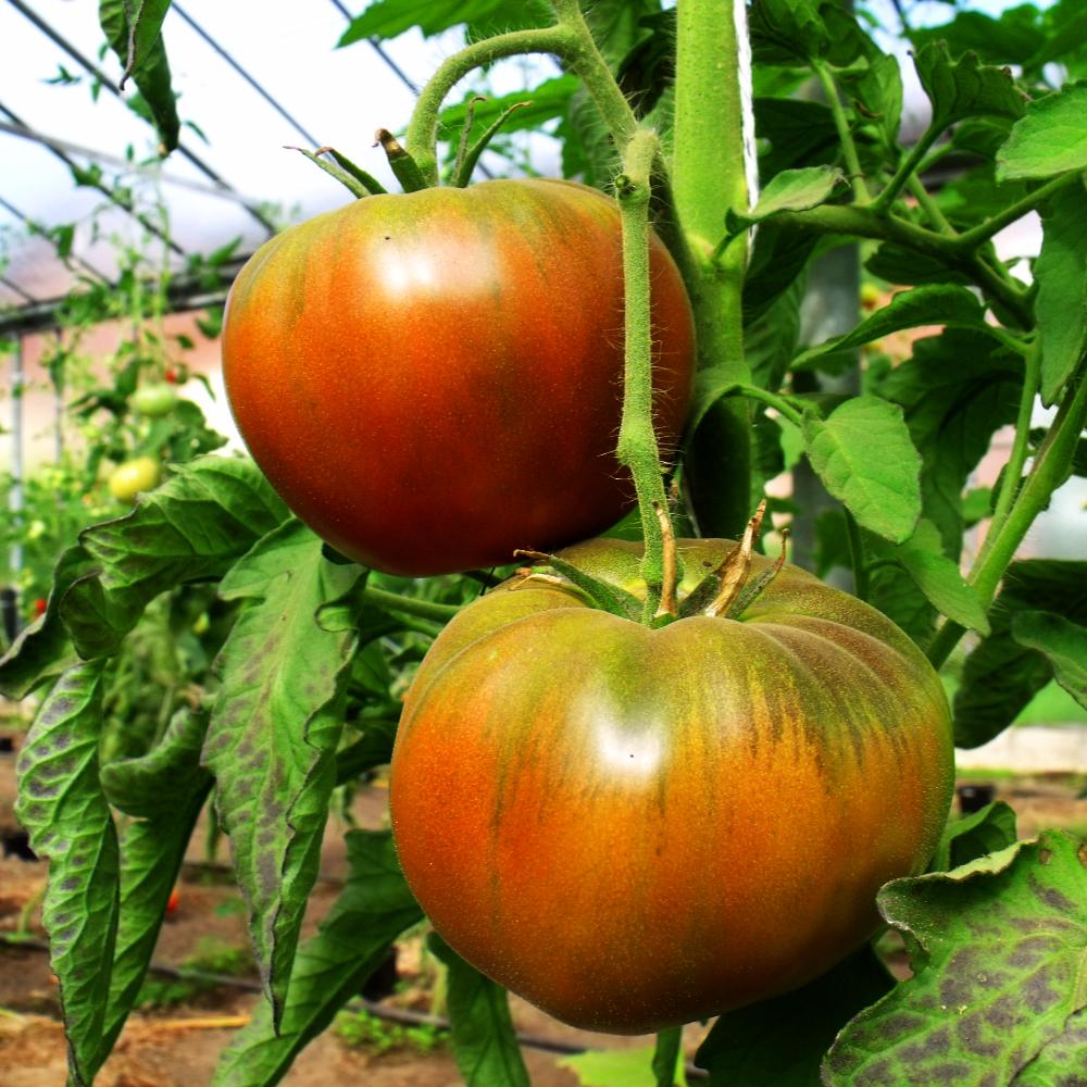 Orange/grüne Tomate