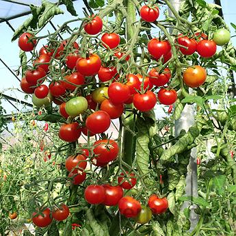 Kleiner roter Prachtvoller Tomatenstracuh