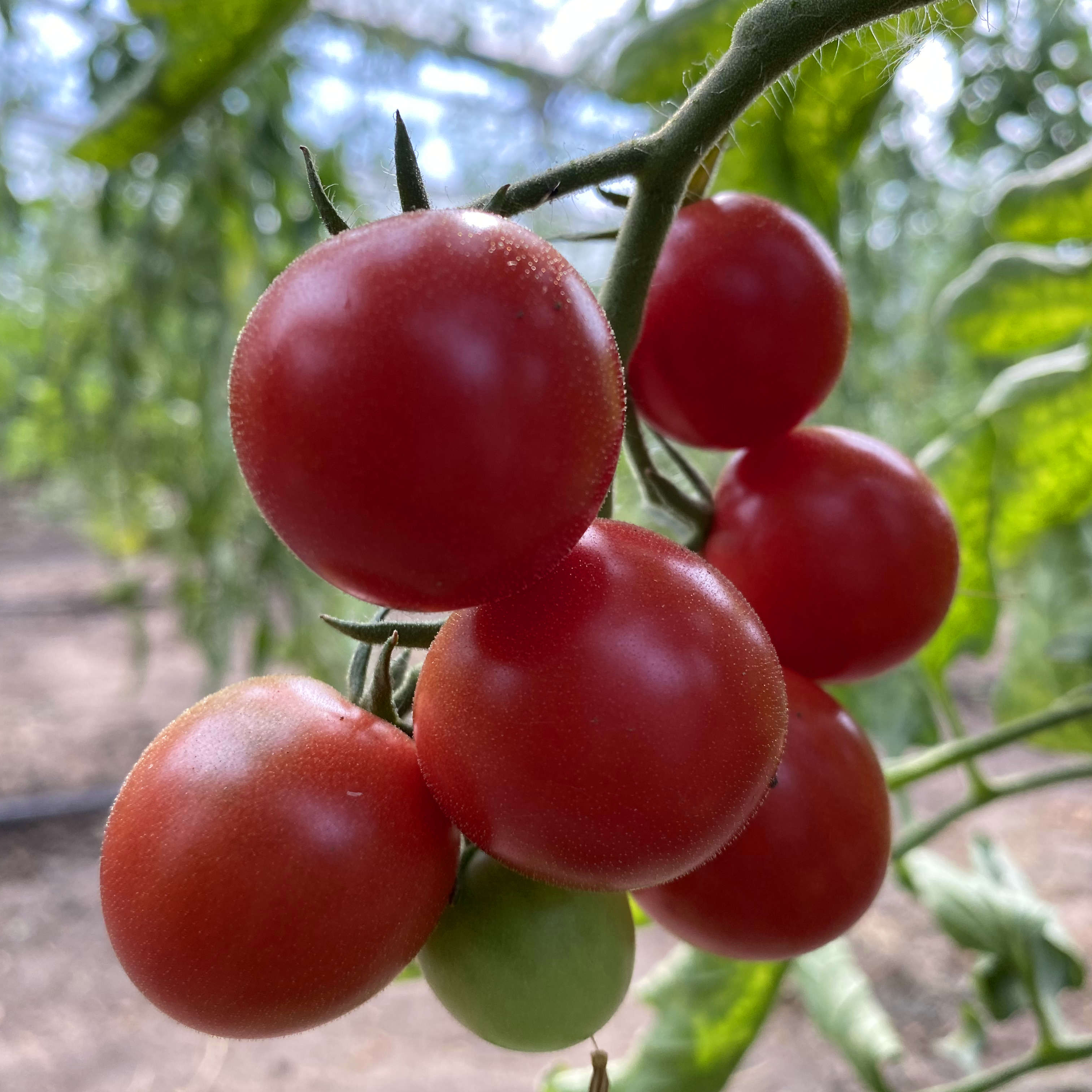 Tomatensaatgut Fruit Punch