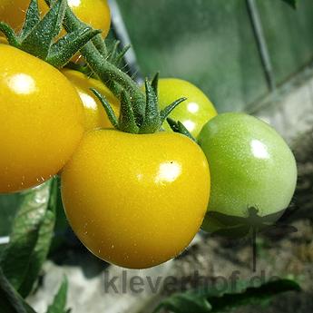 Schöne Gelbe Tomatensorte