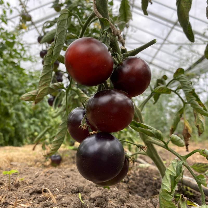 Blau Rote Tomatenrarität