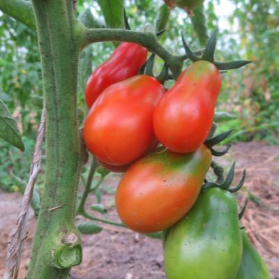 Rote Geschmackvolle Tomaten am Strauch