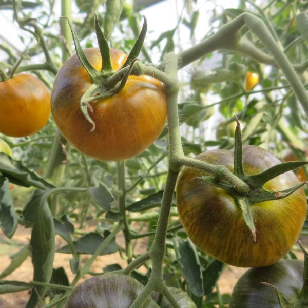 Braune Tomatensorte mit Schwarzen streifen