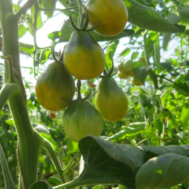 Grün/Gelber Bio Tomatenstrauch