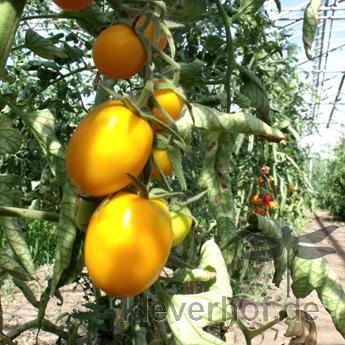 Gelbe Bio Tomatenfrüchte