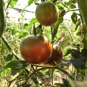Brauner Liebesapfel