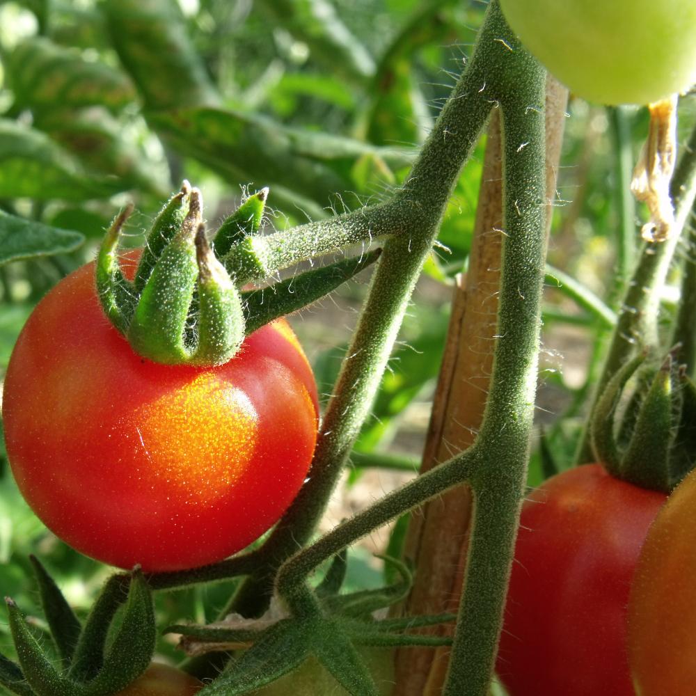 Prachtvolle rote Tomatenfrucht
