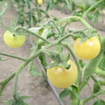 Gelb/Weiße Cherry Tomatensorte