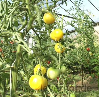 Gelb und Weiße Tomatensorte mit Geschmack