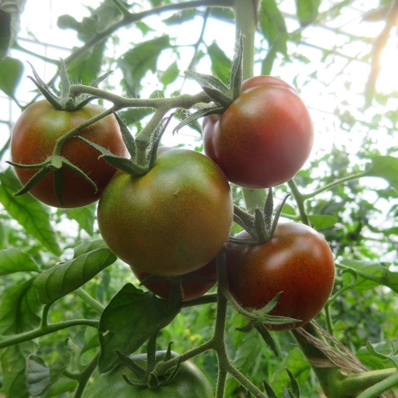 Braune Tomatenfrucht mit Geschmack