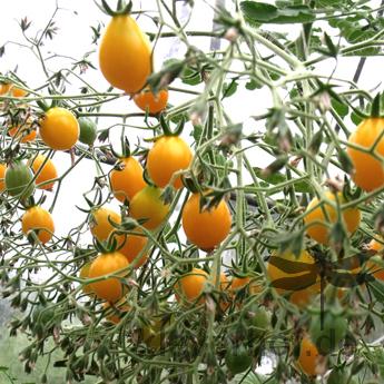 Gelbe cherry Tomatensorte in Birnenform