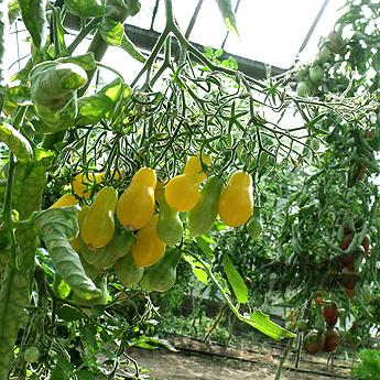 Gelbe Tomatenfrucht in Birnenform