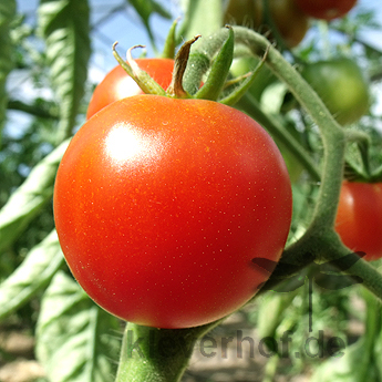 Rote cherry Tomatensorte