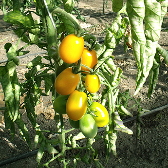gelbe Tomatenvielfalt