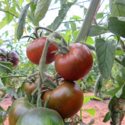 Braun/Roter Liebesapfel