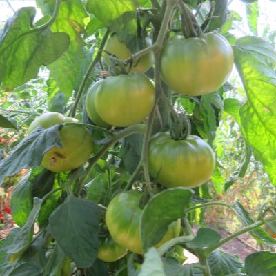 Grün und Gelbe Tomatenvielfalt