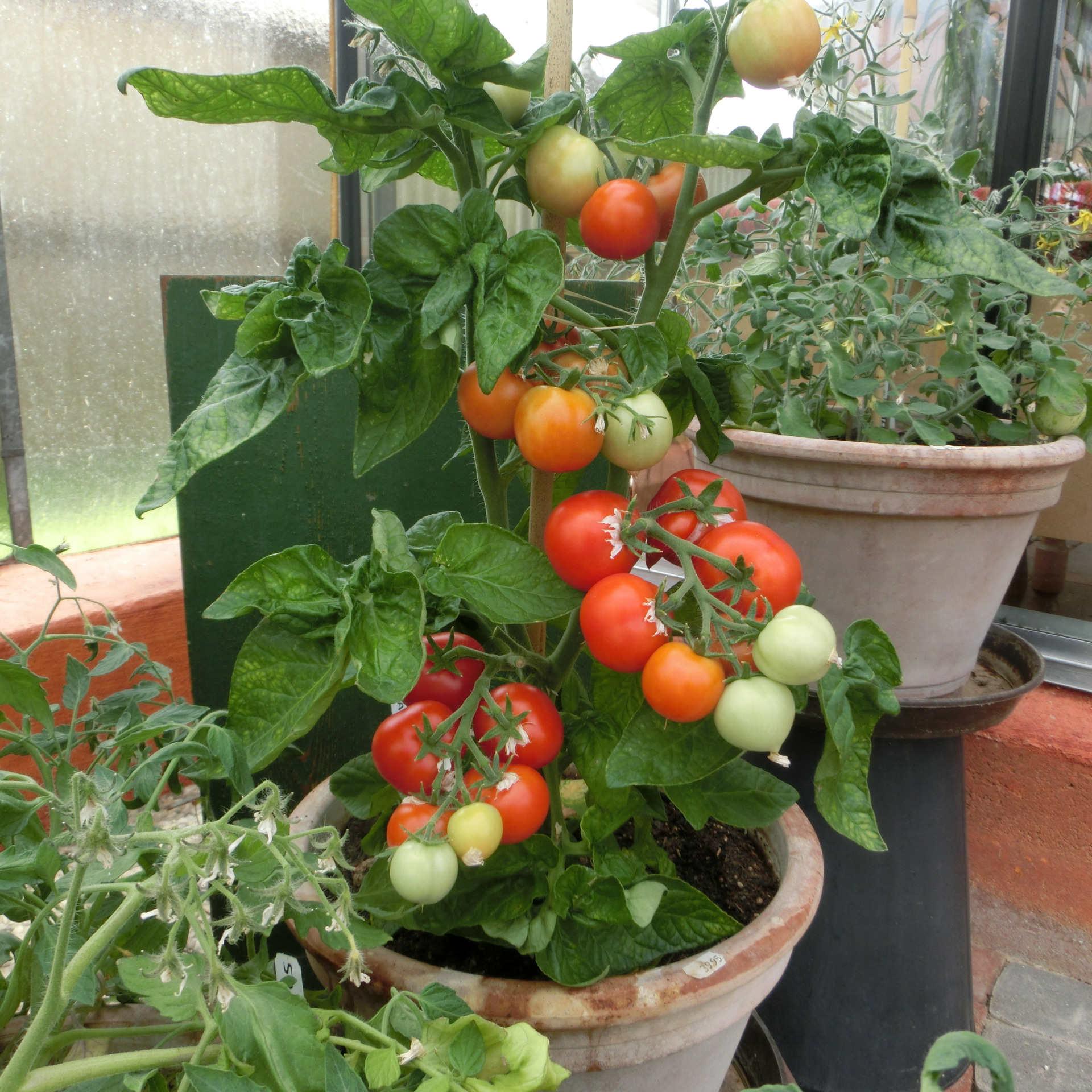 Tomatensaatgut Balkonstar