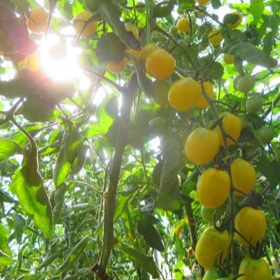 Tomatensaatgut Iva's Sweet White