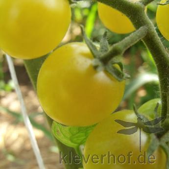 Gelbe und Grüne Tomatenvielfalt