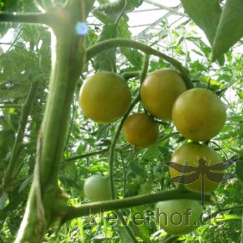 Grüne Bio Paradeiser