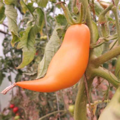 Gelborange Tomatenviefalt mit Geschmack